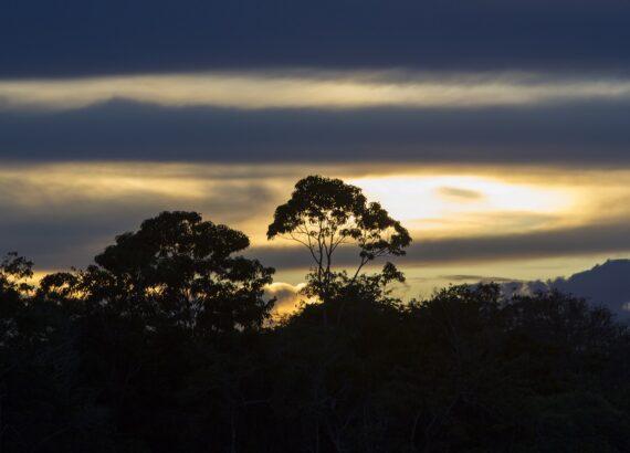 brazil nut trees in the Amazon